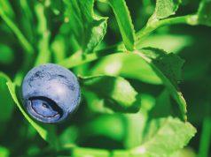1200-wild-blueberry