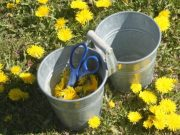 Using-Dandelions-for-Food-and-Medicine-Harvest