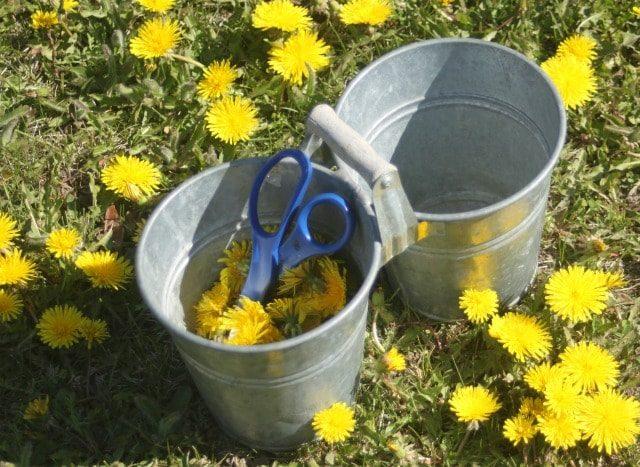Using-Dandelions-for-Food-and-Medicine-Harvest