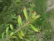 spruce-tips-chris-gilmour-1024x576