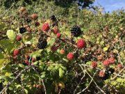 blackberries-wild-min